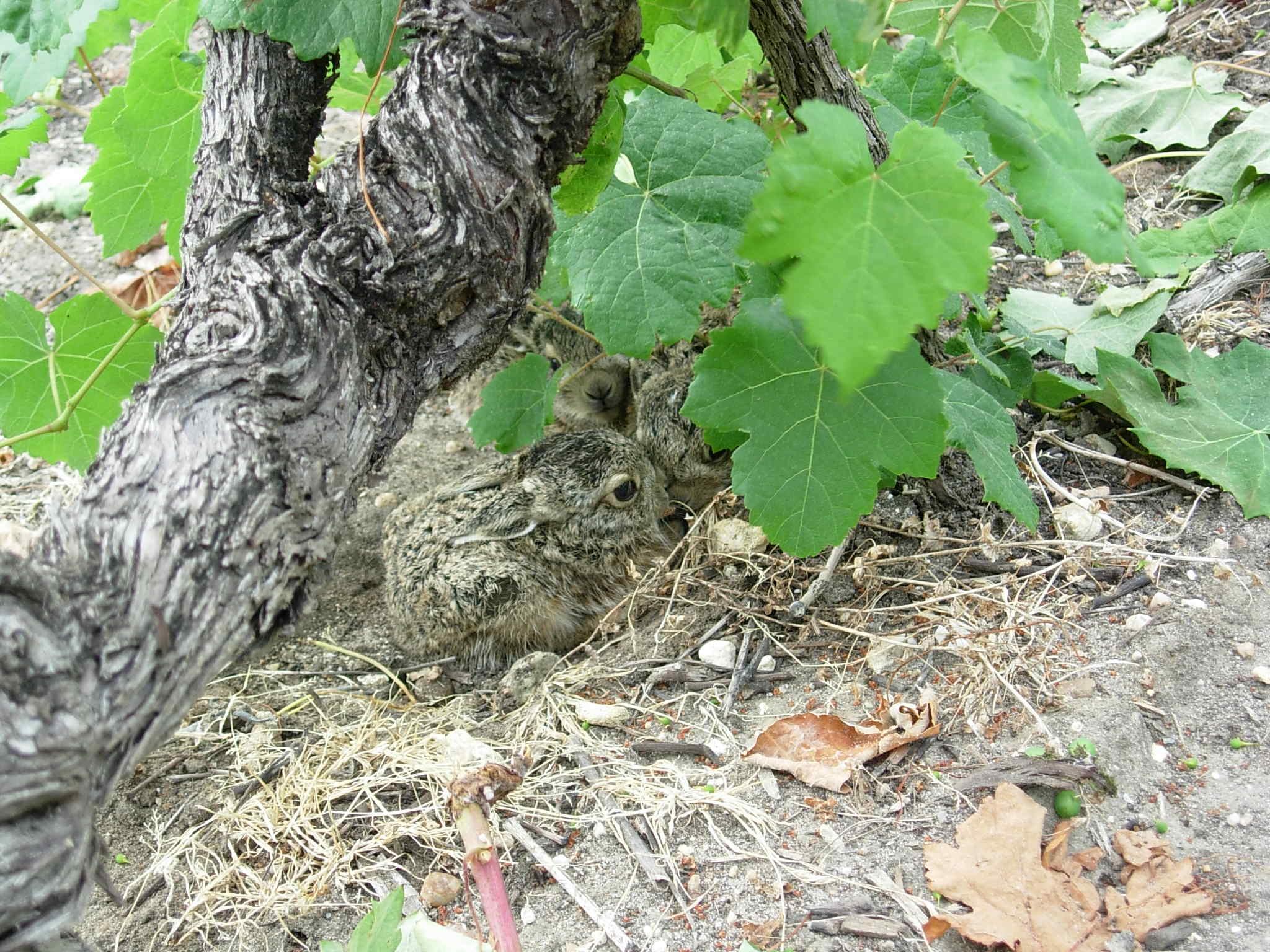 Château Granins Grand Poujeaux - Nichée de lapins 2
