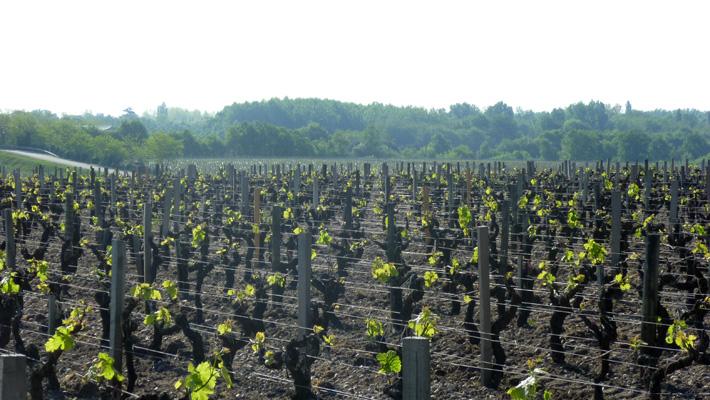 Château Granins Grand Poujeaux - Vignes
